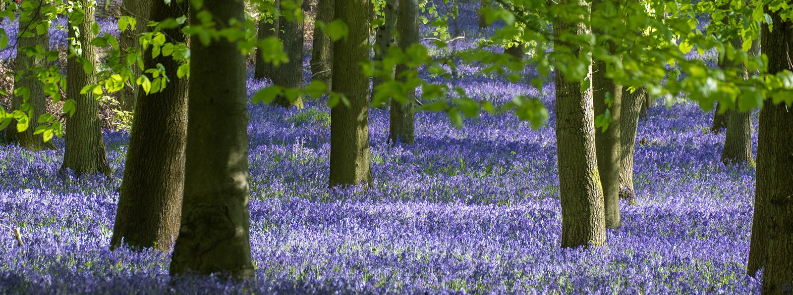 Bluebell-Woods-Near-Me-Chichester-Sussex